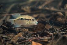 A.pulcher in the habitat. Foto by Ivan Mikolji