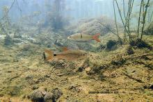 C.apogon in the wild. Photo by Ton Eakapan