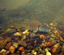 N.leptocephalus in the wild. Photo by Derek Wheaton. Печатается с разрешения автора