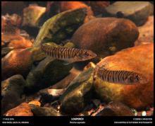 P.carpodes in the nature. Photo by Derek Wheaton. Печатается с разрешения