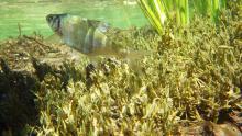 Лещ в природном биотопе. Фото Алексея Малышева